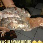 NGAKAK! Cairkan Bansos Pangan Kemensos, Warga Cianjur Dikasih Ayam Hidup